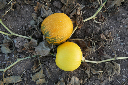 ripe yellow pumpkins in the field