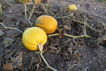 pumpkin seed, pumpkin