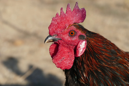 freckled rooster Turkey, Denizli rooster, close-up 写真素材