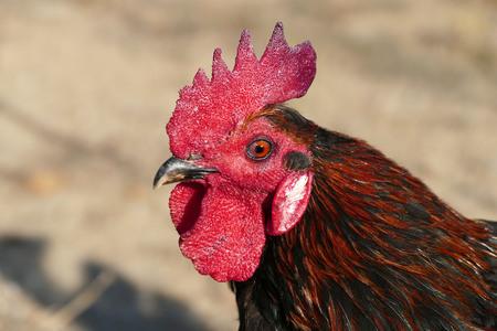 freckled rooster Turkey, Denizli rooster, close-up, Banco de Imagens