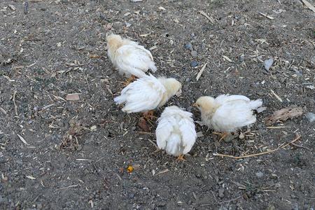 white chicken close-up Banco de Imagens - 115980939