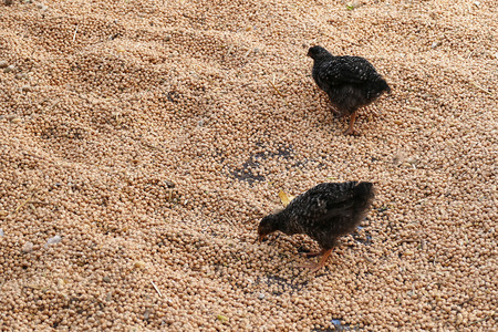 chickens feed on dry chickpeas