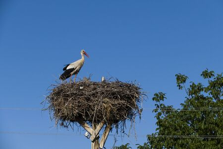 a couple of storks in the nest, during the incubating period the stork and his wife are in the nest, Banco de Imagens