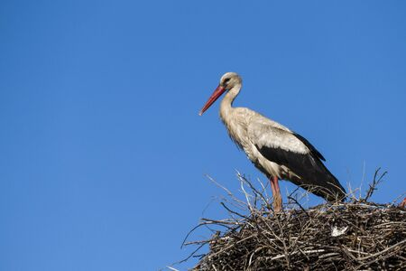 a stork waiting for his wife in the nest, blue sky and a stork nest, natural stork nest,