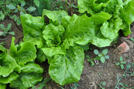 organic curly lettuce, planted lettuce in the garden is very fresh,