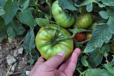Natural large ripe tomatoes in the garden are healthy. healthy agricultural vegetables,