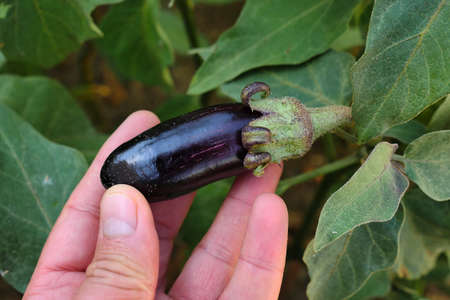 natural tiny eggplant in the garden is healthier. healthy agricultural vegetables, 写真素材