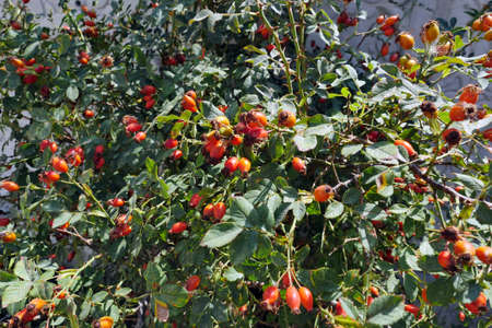 rose hips from prickly fruits, rose hips that begin to ripen on rosehip trees, 写真素材