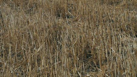stubble field, dry wheat stalks, dry wheat stalks and straws,
