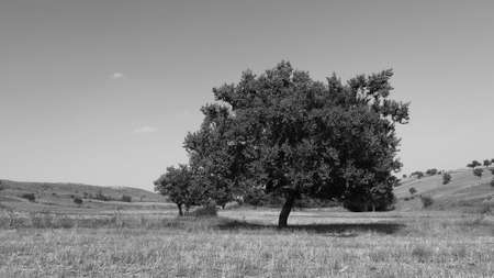 a century old big apricot tree, old fruit trees,