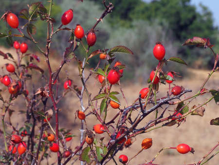 Rosehip fruits ripening on rosehip trees, rosehip fruits in the fall season,
