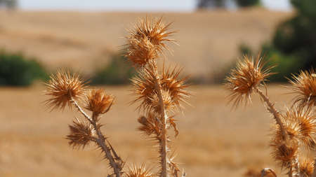 a field full of dried thorns, lots of dry thorns in the continental climate,