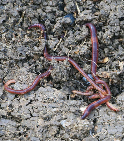 earthworms in the natural garden, the importance of worm for soil,