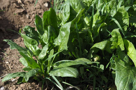 The spinach plant that grows in the open field garden, Stock fotó