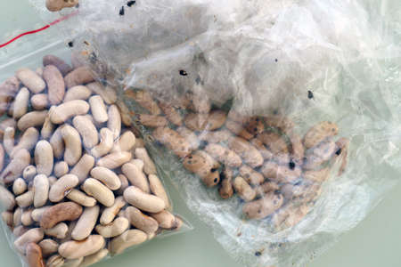 Insects moving in bean seeds,infested bean seed, moving insects on bean kernels,