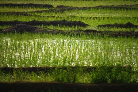 buffalo grass: detail of green rice field for background Stock Photo