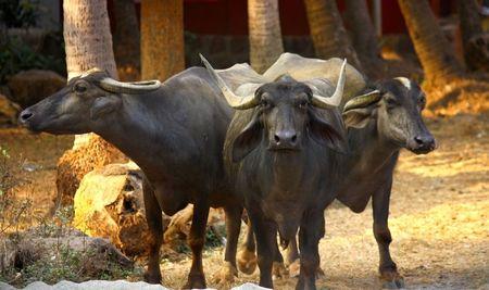 grazer: three domestic bubalus on the street in India
