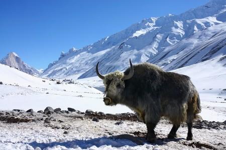 yak in snowy himalayas