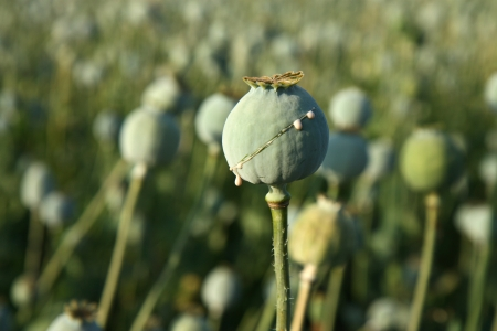 poppy seeds: harvest of opium from poppy on the agriculture field Stock Photo