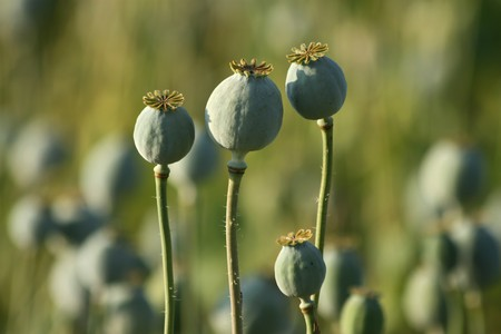 opium poppy  heads in green agriculture field photo