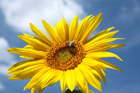 detail of sunflower blossom and bee  photo