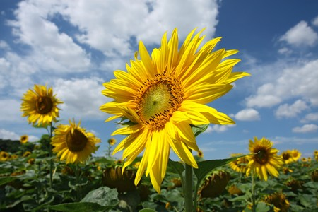 detail of sunflower blossom on the field Stock Photo - 8054255