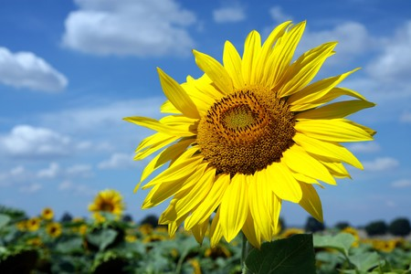 big blossom of sunflower under cloudy sky Stock Photo - 8054263