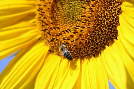 bee on sunflower blossom under sun light photo
