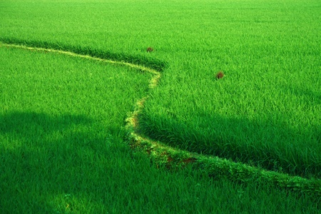 fresh green rice field terrace in india Stock Photo