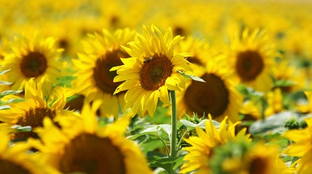 yellow forest of nice sunflower blossoms photo