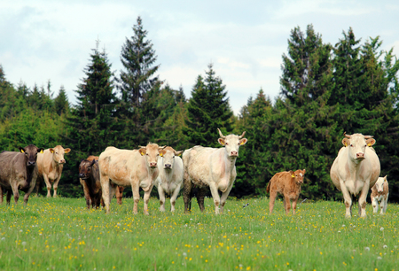 A herd of cow grazing on lush green meadow with calf Stock Photo