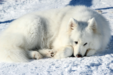 Beautiful white Samoyed lying in the snow