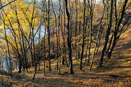 autumn in yellow deciduous forest