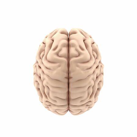 3d human brain top view