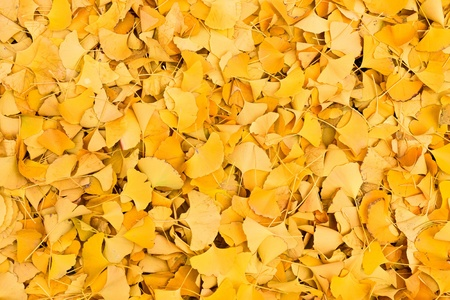 gingko: Gingko leaves