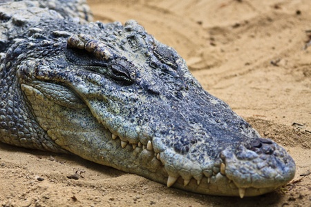 Head of crocodile photo