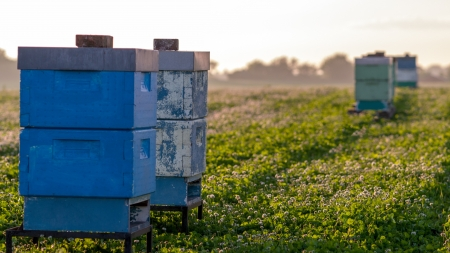 pollinator: Bee hives for pollination and honey production in a clover field with hilly landscape Stock Photo
