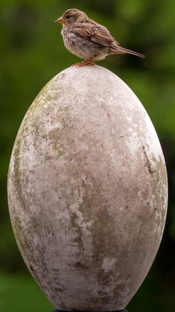 proportions: Small bird big egg. The House Sparrow (Passer domesticus) is looking left and out of proportions compared to the egg underneath.