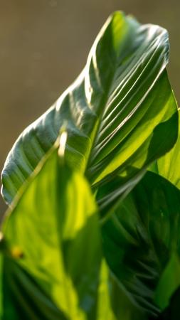 specular: Hoja verde que muestra las tres formas comunes de la dispersi�n de la luz, la reflexi�n especular en la parte blanca, la difusi�n lambertiano en medio oscuro y transl�cido como la luz brilla a trav�s de la hoja Foto de archivo