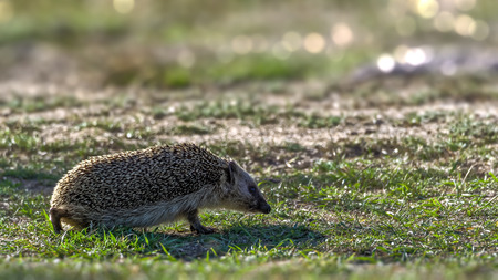 Backlit European hedgehog Erinaceus europaeus walking on short grass in the search for food Stock Photo
