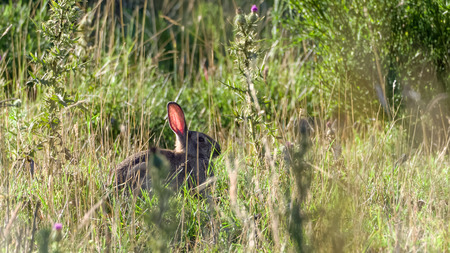 backlite: Wild european rabbit Oryctolagus cuniculus sitting in high grass on the Danish islad of Bornholm