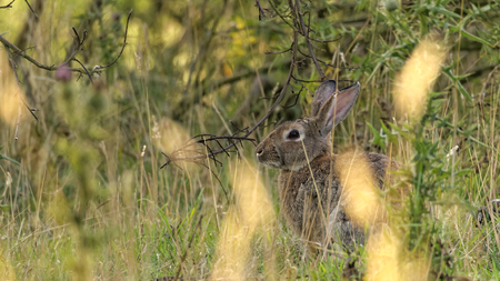 oryctolagus cuniculus: European rabbit also called the common rabbit Oryctolagus cuniculus living wild in the tall grass on the island of Bornholm Stock Photo