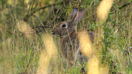 oryctolagus cuniculus: European rabbit also called the common rabbit Oryctolagus cuniculus living wild in the tall grass on the island of Bornholm cropped version Stock Photo