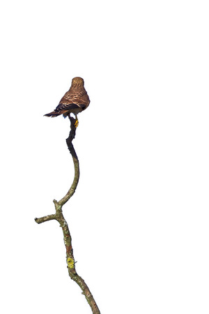 falco: common kestrel Falco tinnunculus seen from behind, sitting on a wery long branch,on white
