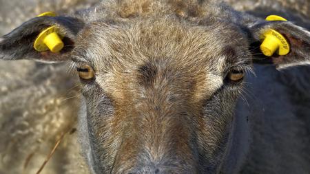 sheep eye: Sheep staring into camera