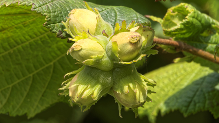 hazel tree: hazelnuts on a hazel tree Corylus