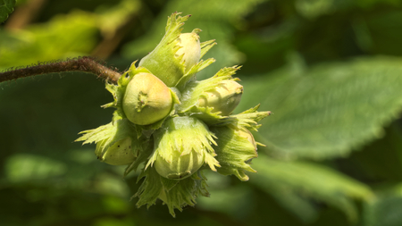 hazel: hazelnuts on a hazel tree Corylus