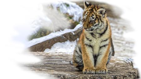 tigre cachorro: cachorro de tigre siberiano lindo i (Panthera tigris altaica) sentado