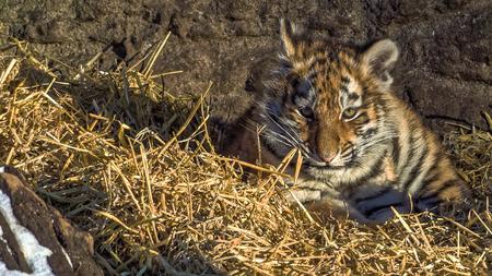 tigre cachorro: cachorro de tigre siberiano en el heno (Panthera tigris altaica) Foto de archivo