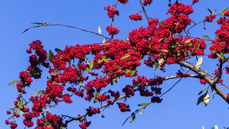 argousier: Baies rouges mer nerprun commun en hiver sur un ciel bleu, Hippophae rhamnoides Banque d'images